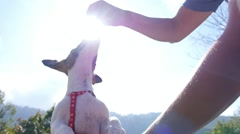 Owner Gives a Treat to Happy Puppy Jack Russel Terrier Stock Footage