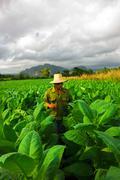 EDITORIAL: Farmer smoking cigar in the middle of tobacco in Viñales, Cuba Stock Photos
