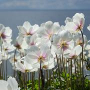 White anemones from the back - stock photo