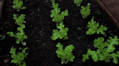 Watering a kitchen garden. Lettuce Vegetable plant. Organic. Healthy food. Stock Footage