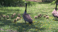 Canada geese with baby goslings in a park in the spring after nesting season. Stock Footage
