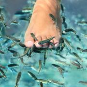 Pedicure fish spa feet wellness skin care treatment - stock photo