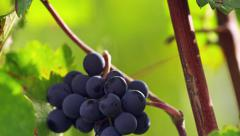 Grapes in the Vineyard in Tuscany, Italy 4K Stock Video Footage Stock Footage