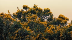 Gorse Bushes In The Wind At Sunset Stock Footage