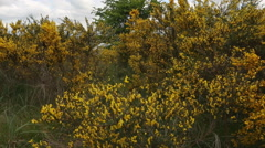 Scotch Broom dolly shot Stock Footage