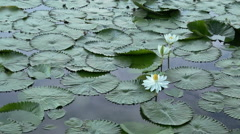 Bee in Lotus Flower in the nature Stock Footage