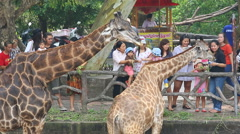 People Visit and Feeding Food To Giraffe In Zoo Stock Footage