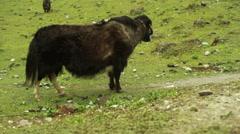 Fogy prairie meadow with buffalo, Sikkim, India, medium shot, shallow DOF - stock footage