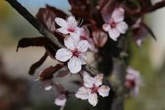 Stock Photo of Cherry Plum Blossoms
