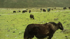 Fogy prairie meadow with buffalos, herder, Sikkim, long shot, shallow DOF - stock footage