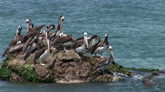 Pelicans sitting on a rock in Peru (Paracas) Stock Footage