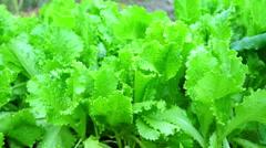 Green Salad Leaves Macro Shooting Stock Footage