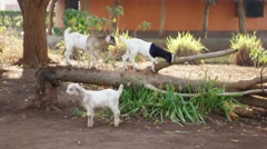 Goats on log Stock Footage