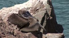 Pelican at the ocean in Peru Stock Footage
