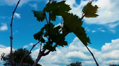 4K Grape Leaves Silhouette Stock Footage