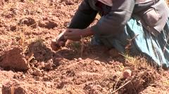 Potato harvesting familiy in the Andes of Peru - stock footage