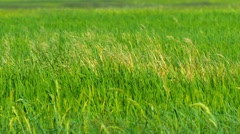 Agricultural Field Planted with Lowland Rice Stock Footage