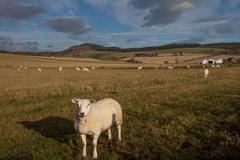 Posing Sheep and Pasture, Scotland Stock Photos