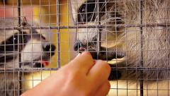 Stock Video Footage of Hand Feeding Adorable Raccoons in a Cage