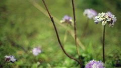 Wild purple flowers blowing in the wind, close up, pan left, shallow DOF Arkistovideo