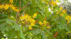 Video 1920X1080 - Yellow Flame Tree, with its beautiful, bold, yellow blooms, Stock Footage