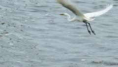 If an Egret were to challenge a Pelican twice his size, who would win? - stock footage