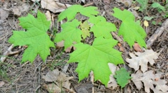 Small green Norway maple tree in spring in forest Stock Footage