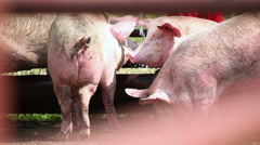 Pigs in a pen in the village - stock footage
