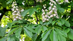 Video flowering chestnuts, spring nature background. Stock Footage