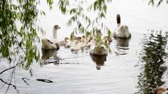 Geese. Family flotilla Stock Footage