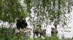 Goose with goslings - stock footage