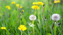 Air dandelions on spring field. Video of plants. Stock Footage