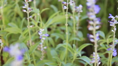 Dolly:Blue Salvia And Lavender Flowers Blooming In The Garden And Field Stock Footage