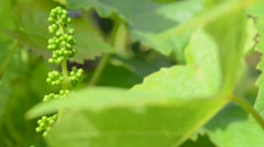 Vineyard-New Grape and Leaf Spring Stock Footage