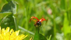 Ladybird on blade of grass Stock Footage