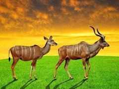 greater kudu - stock photo