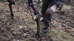 Pruning in a wineyard Stock Footage