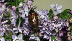 May-bug on the branches of the lilac Stock Footage