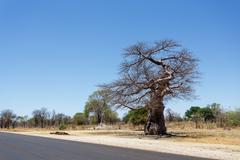 Majestic baobab tree Stock Photos