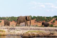 African Elephant in Chobe National Park Stock Photos