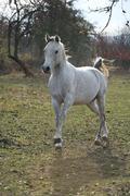 Stock Photo of White arabian stallion running