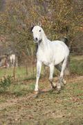 White arabian stallion running - stock photo