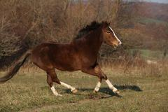 Nice pony running - stock photo