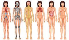 Body system - stock illustration
