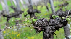 Vine Leaf in spring-Vineyard south west of France, Bordeaux Vine Stock Footage