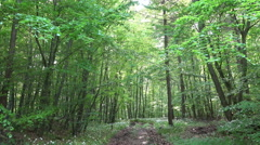 Wild garlic growing in woodrush beech forest pathway Stock Footage