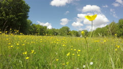 Buttercups in spring meadows Stock Footage