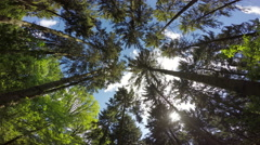 Tall pine trees swaying, perspective shot. Stock Footage
