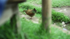 A chicken looking for food, himalaya village, medium shot, shallow DOF Stock Footage