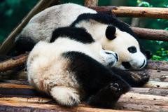 two Panda bears cubs playing Sichuan China - stock photo